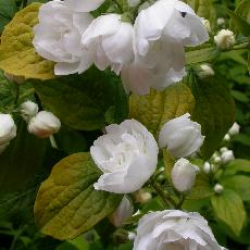 Philadelphus  'Yellow Hill'