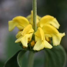 Phlomis grandiflora