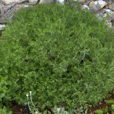 Artemisia alba subsp. camphorata