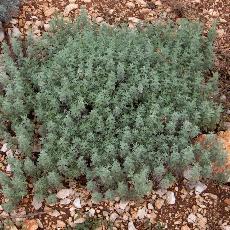 Artemisia pontica