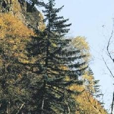 Picea meyerii
