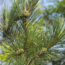 Pinus brutia var. eldarica