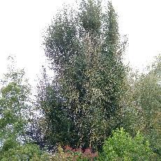 Populus simonii  'Fastigiata'