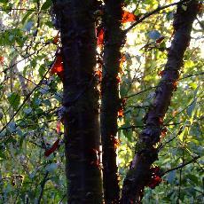 Prunus canescens