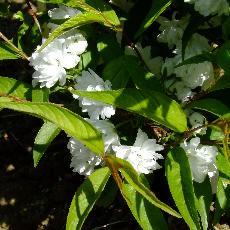Prunus glandulosa  'Alboplena'
