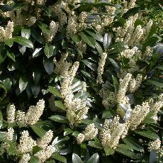 Prunus laurocerasus  'Van Ness'