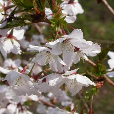 Prunus nipponica  'Brillant'