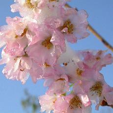 Prunus subhirtella  'Rosea'