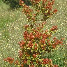 Quercus phillyreoides