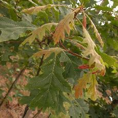 Quercus coccinea