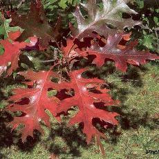 Quercus texana