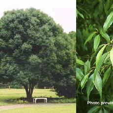 Quercus myrsinifolia