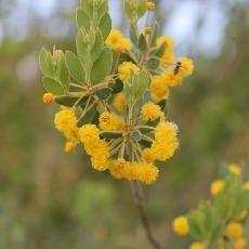 Acacia uncinata