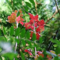 Ribes hirtellum
