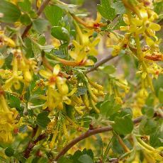 Ribes odoratum  'Fuma'