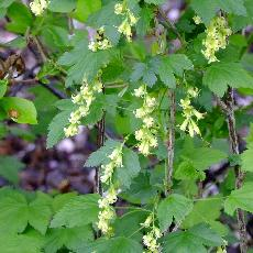 Ribes fasciculatum var.chinense