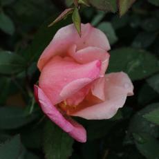 Rosa chinensis var. mutabilis