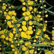 Acacia verniciflua