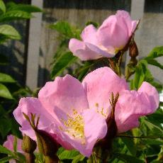 Rosa johannensis