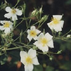 Rosa moschata var. umbrella