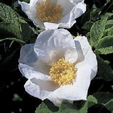 Rosa rugosa  'alba'
