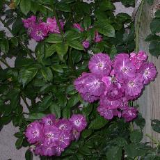 Rosa  'Amethyste'