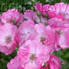 Rosa  'Angela(R)'