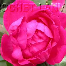 Rosa  'Baron Gonella'