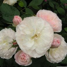 Rosa  'Bouquet Parfait (R)'