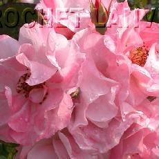 Rosa  'Clair Matin (R)'
