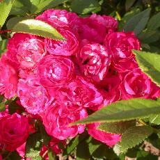 Rosa  'Dinky (R)'