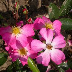 Rosa  'Fil des Saisons'