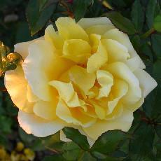 Rosa  'Landora (R)   Clg'