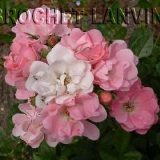 Rosa  'Souvenir d'Adolphe Turc'