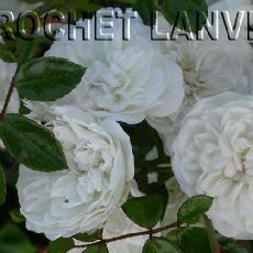 Rosa  'Swany (R)'