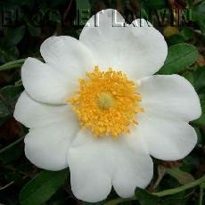 Rosa bracteata