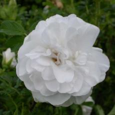 Rosa  'Blanc Double de Coubert'