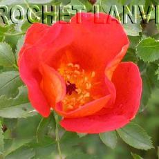 Rosa foetida  'Bicolor'