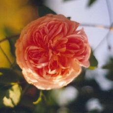 Rosa  'Alchemist'