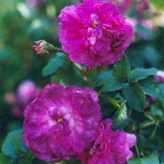 Rosa  'Belle de Crécy'