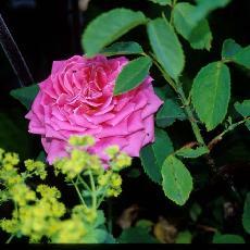 Rosa  'Dame Edith Helen'