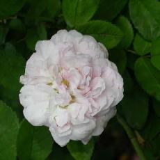 Rosa  'Duchesse de Montebello'