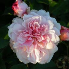 Rosa  'Felicia'