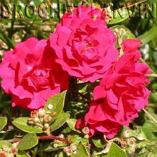 Rosa  'Gartner Freude'®'