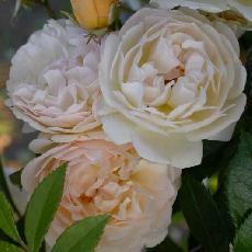 Rosa  'Ghislaine de Féligonde'