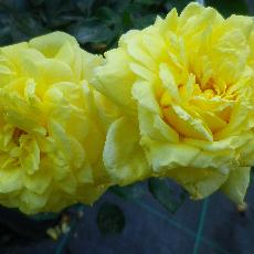 Rosa  'Golden Delight'