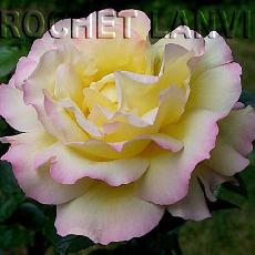 Rosa  'Mme A.Meilland'