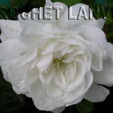Rosa  'Snow Ballet'