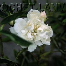 Rosa cannabifolia