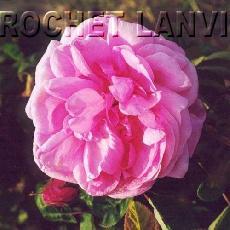Rosa x centifolia  'Bullata'
